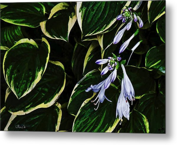 Flowering Hosta Metal Print