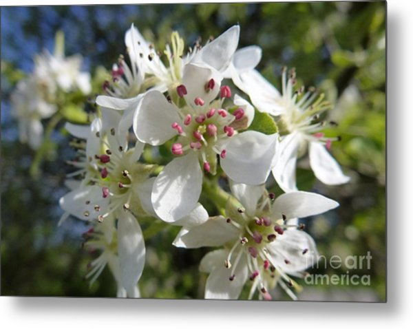 Flowering Of White Flowers 2 Metal Print