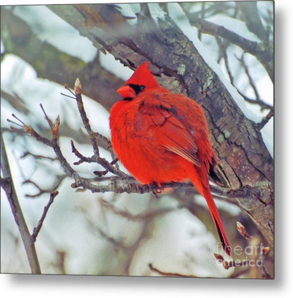 Fluffed Up Male Cardinal Metal Print