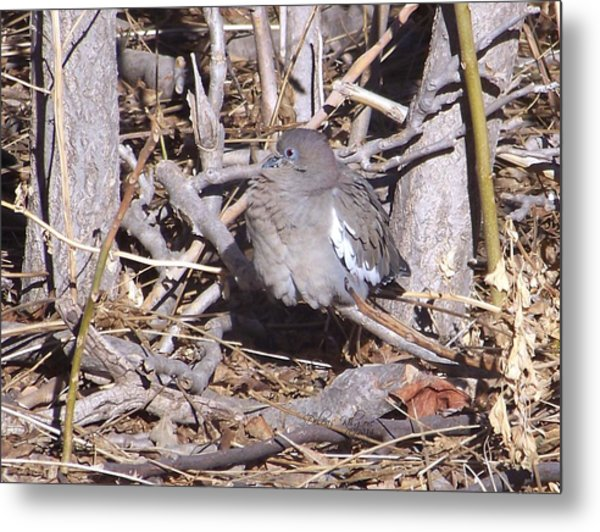 Fluffy Dove Metal Print