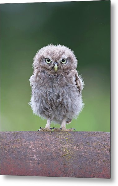 Fluffy Little Owl Owlet Metal Print