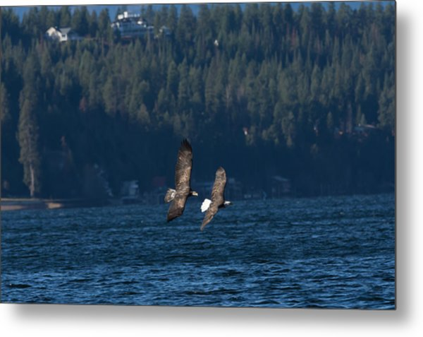 Flying Bald Eagles Metal Print