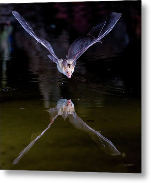 Flying Bat With Reflection Metal Print