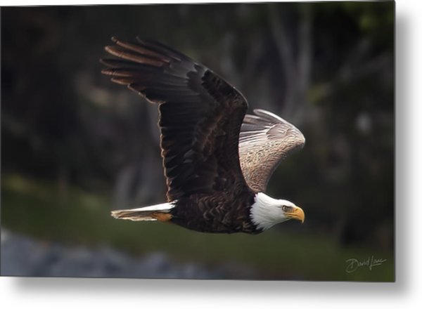 Metal Print featuring the photograph Flying Eagle by David A Lane