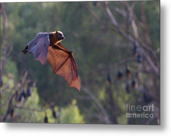 Flying Fox In Mid Air Metal Print