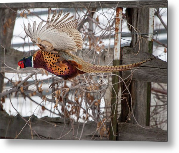 Flying Pheasant Metal Print