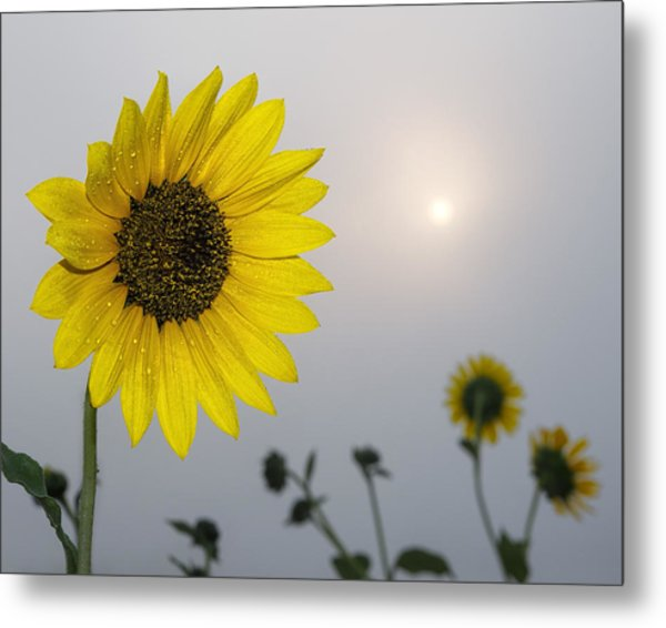 Foggy Sunflowers Metal Print