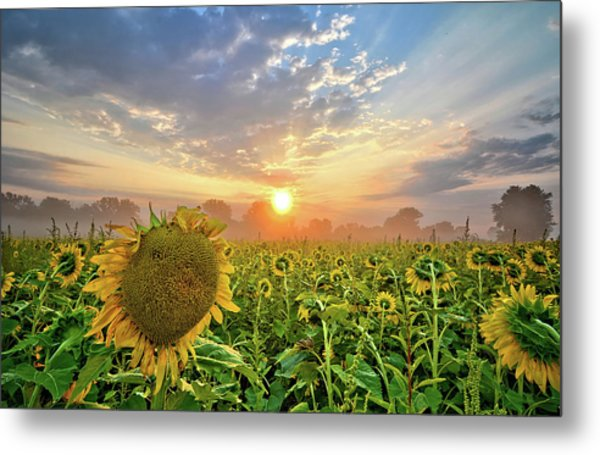 Foggy Yellow Fields Metal Print