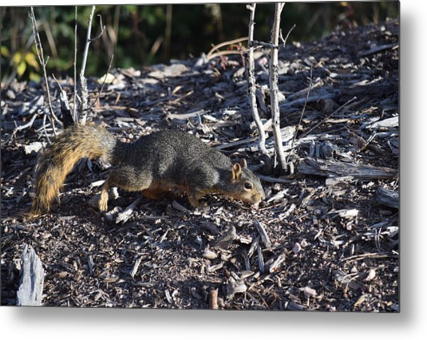 Squirrel Pprh Woodland Park Co Metal Print