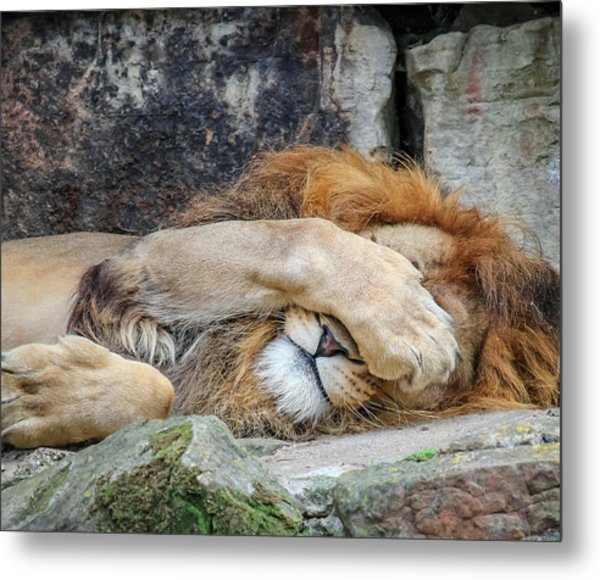 Fort Worth Zoo Sleepy Lion Metal Print