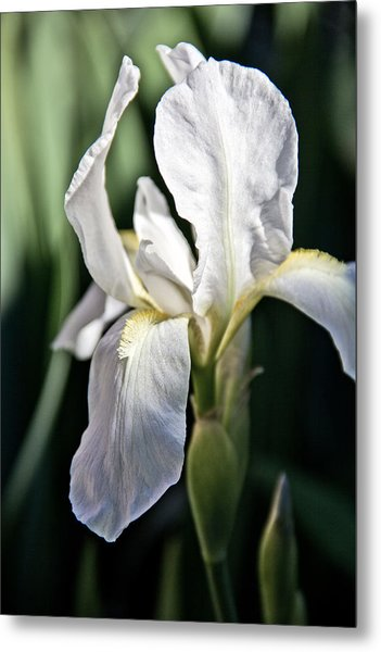Fortnight Lilly Metal Print by Mamie Thornbrue
