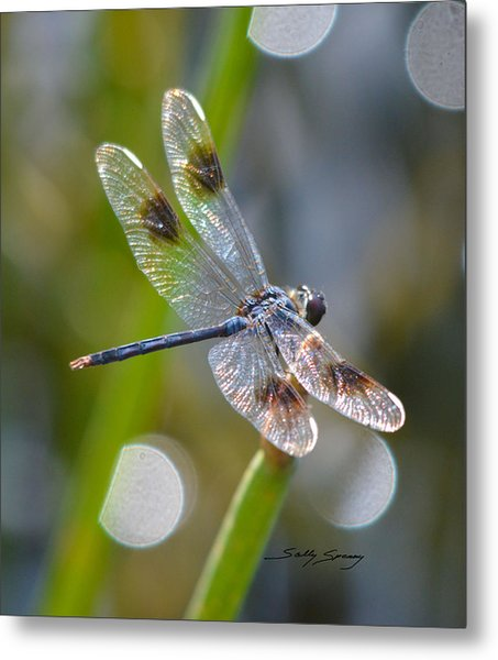 Four Spotted Pennant Metal Print