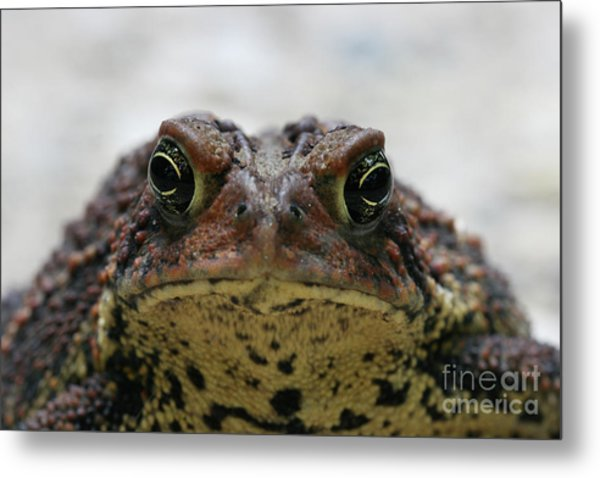 Fowler's Toad #3 Metal Print