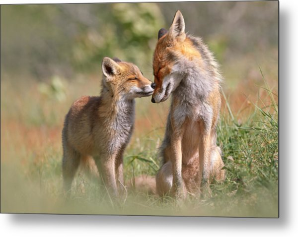 Fox Felicity II - Mother And Fox Kit Showing Love And Affection Metal Print