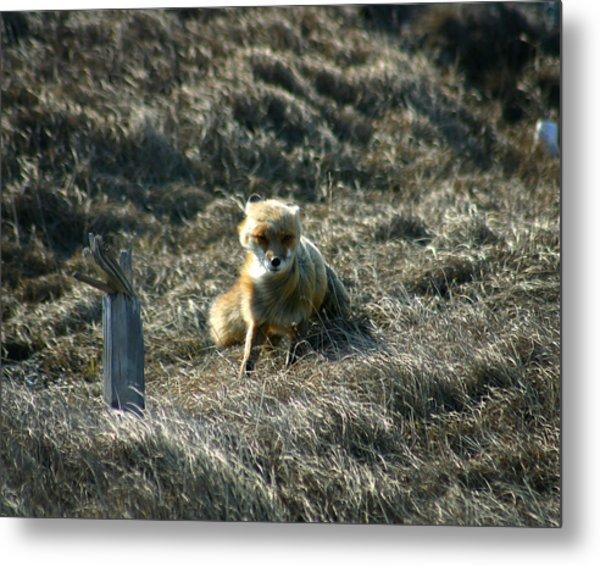 Fox In The Wind Metal Print