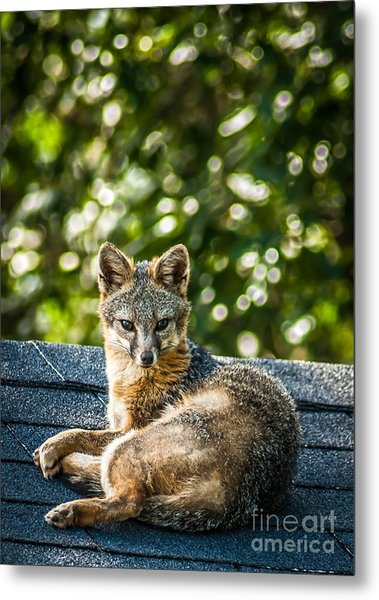 Fox On Roof Metal Print