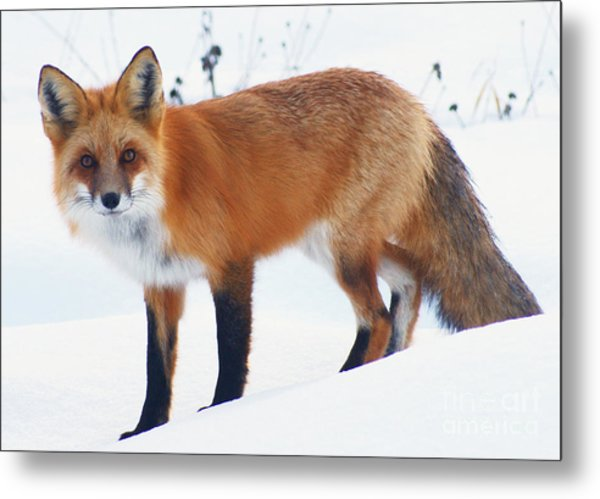 Fox On The Prowl Metal Print