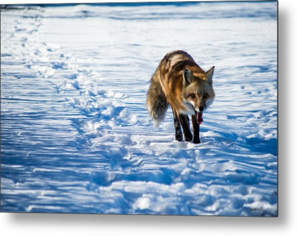 Fox Path Metal Print