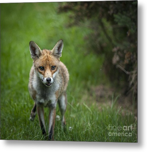 Fox Metal Print by Philip Pound