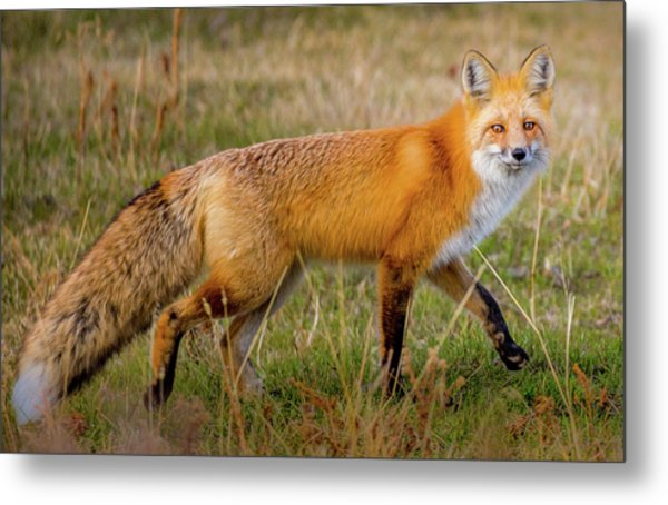 Fox Trot // Yellowstone National Park  Metal Print