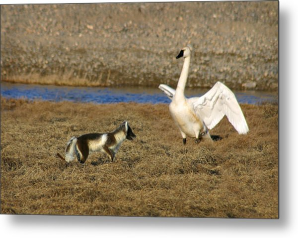 Fox Vs Tundra Swan Metal Print
