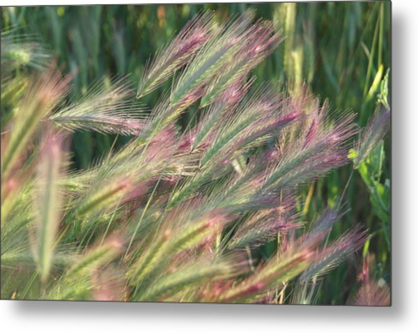Foxtails In Spring Metal Print