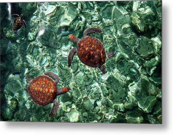 Fragile Underwater World. Sea Turtles In A Crystal Water. Maldives Metal Print
