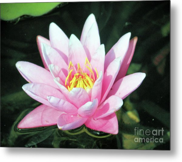 Frail Beauty - A Water Lily Metal Print