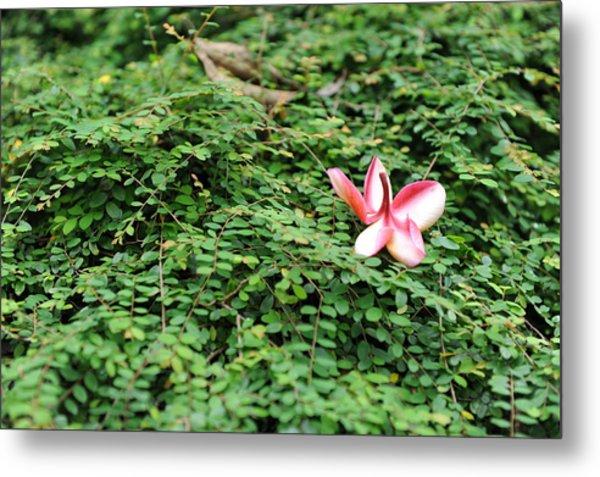 Frangipani Flower Metal Print by Jessica Rose