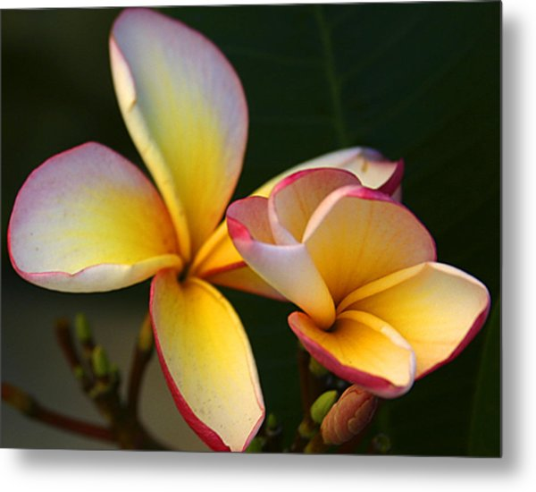 Frangipani Flowers Metal Print by PIXELS  XPOSED Ralph A Ledergerber Photography