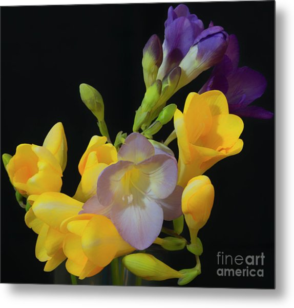 Freesias Softened 9 Metal Print