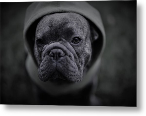 Frenchie In Black And White Metal Print