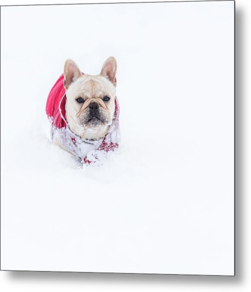 Frenchie In The Snow Metal Print