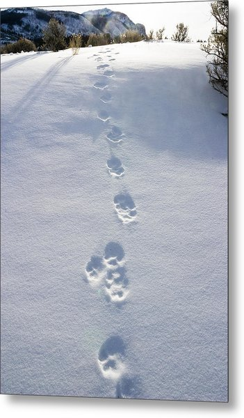 Fresh Wolf Tracks In Yellowstone Metal Print