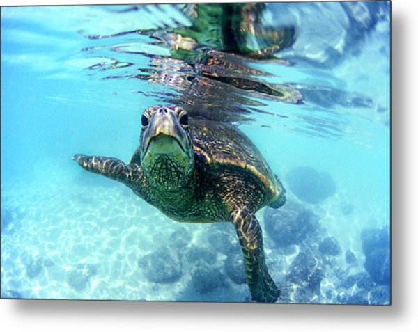 friendly Hawaiian sea turtle  Metal Print