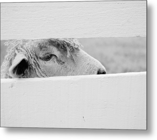 Friendly Sheep Metal Print