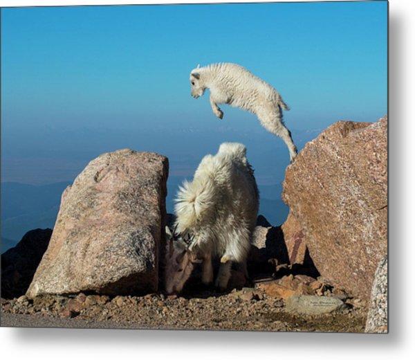 Leaping Baby Mountain Goat Metal Print