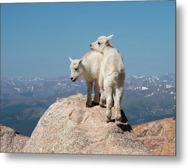Frisky Mountain Goat Babies Metal Print