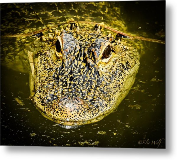 From The Series I Am Gator Number 5 Metal Print
