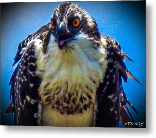 From The Series The Osprey Number 3 Metal Print