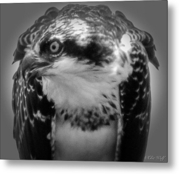 From The Series The Osprey Number Two Metal Print