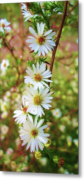 Frost Aster Metal Print