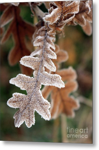 Frost Covered Oak Leaf Metal Print