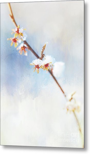 Frosted Witch Hazel Blossoms  Metal Print