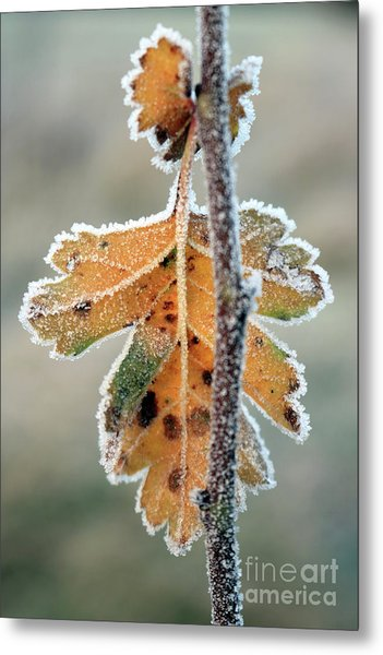Frosty Leaf Metal Print
