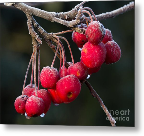 Frosted Apples Metal Print