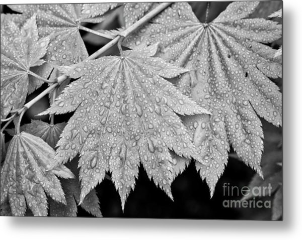 Full Moon Maple Leaf After A Spring Rain Metal Print