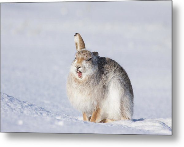 Funny Face - Mountain Hare - Scottish Highlands  #13 Metal Print