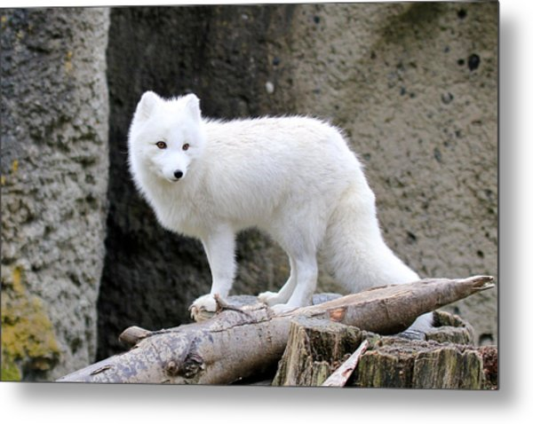 Furry Arctic Fox  Metal Print