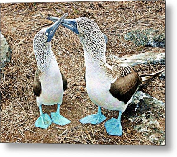 Galapagos Blue-footed Boobies Dance Metal Print